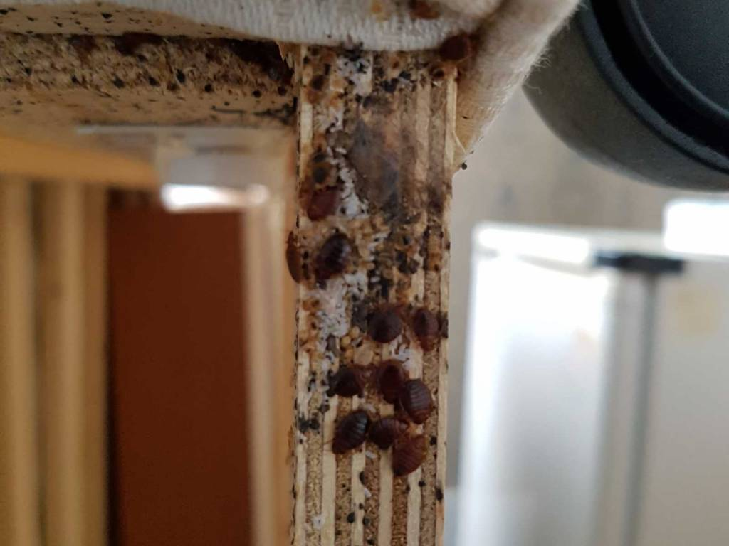 bed bugs Poole, Bournemouth, Weymouth, Dorchester & Dorset