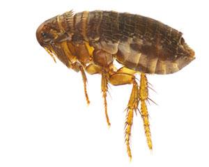 Flea Control Poole