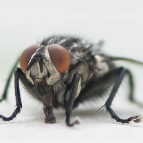 cluster fly control Wimborne, Dorchester, Poole & Bournemouth areas