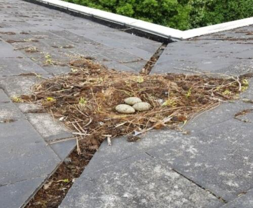 seagull nest removal Bournemouth, Poole, Weymouth & Dorset,