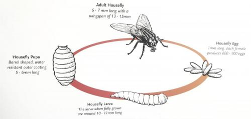 life cycle of a fly