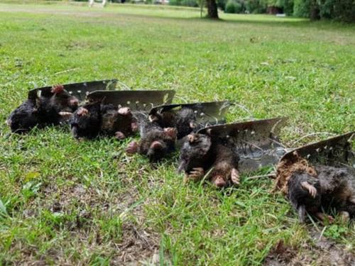 Mole Control Wimborne